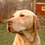 Yellow Lab, brown nose